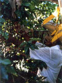 The coffee harvest