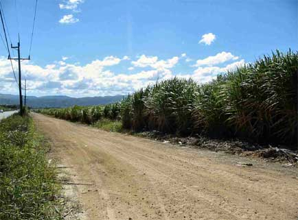 Sugar cane at Montellano